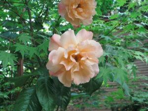 Climbing Westerland Rose